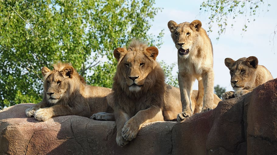 Lions in group