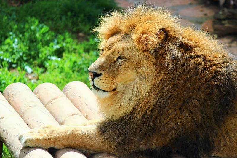 Amazing Facts about Lions