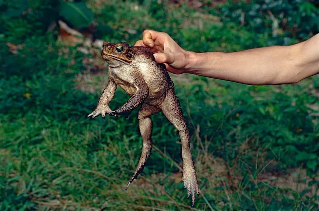 Cane Toad (Rhinella marina) adult female