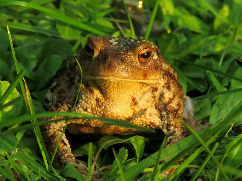 Cane Toad seraching for food