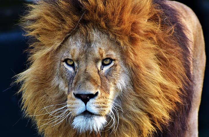 Lion Fact