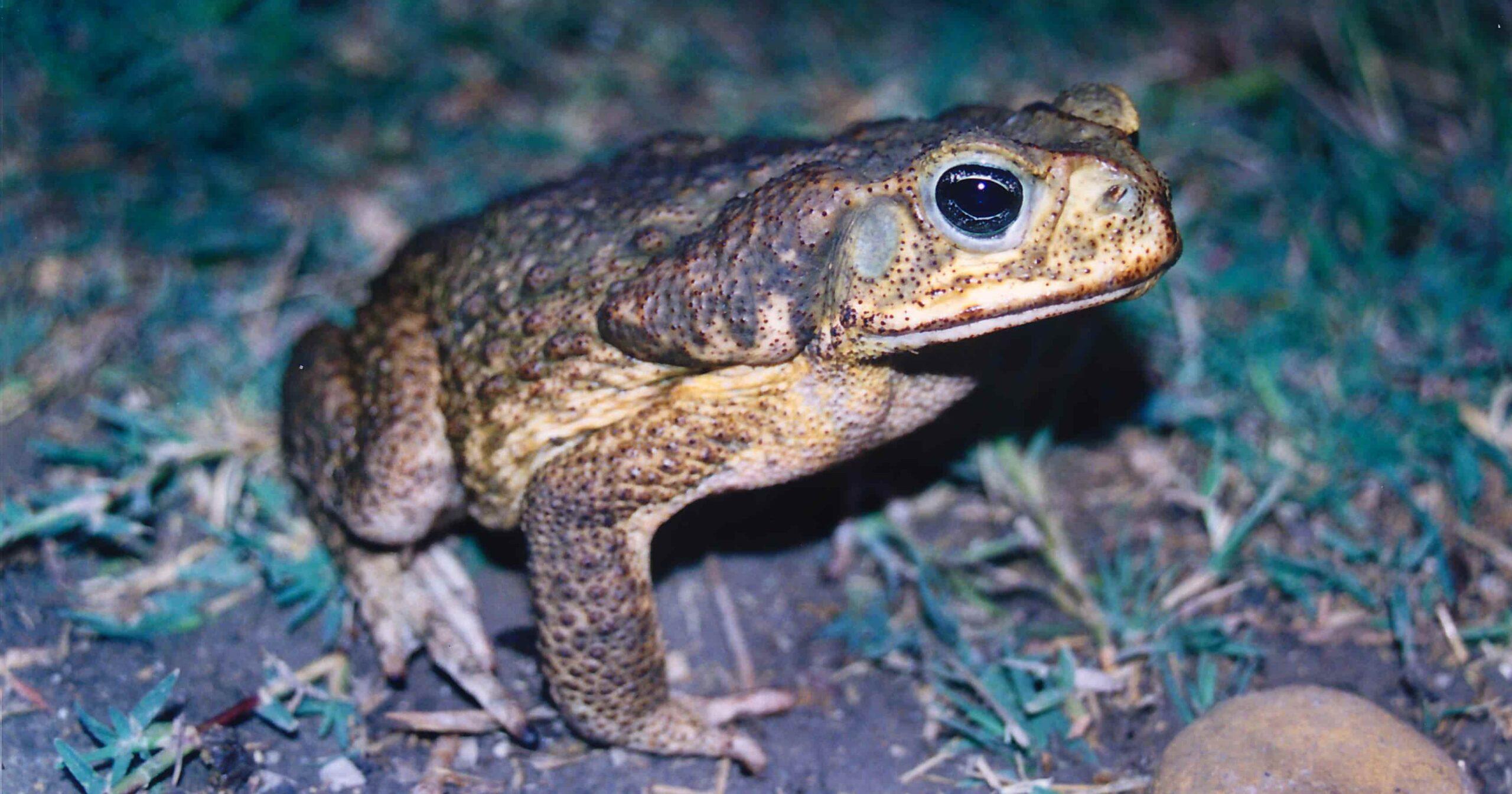 Rhinella horribilis Cane Toad