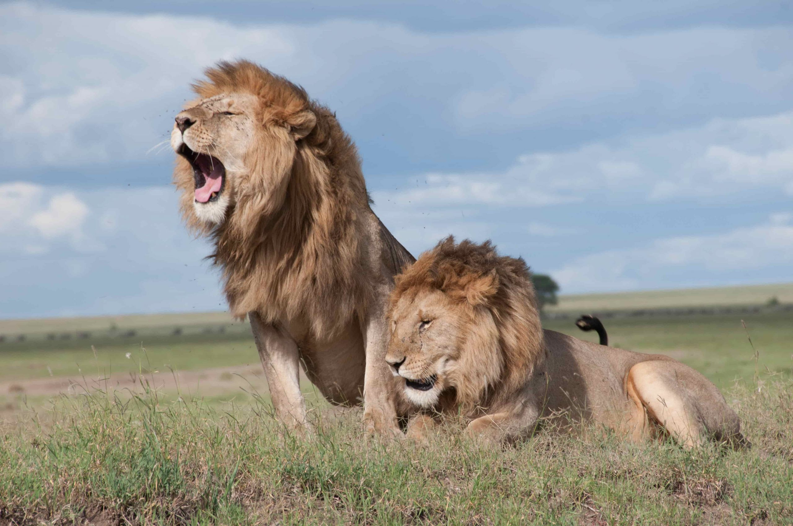 Some Interesting Facts About Lions