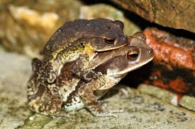 dangerous cane-toads
