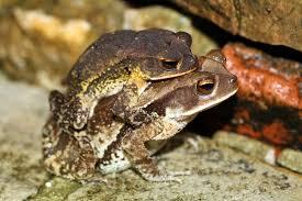 dangerous cane-toads
